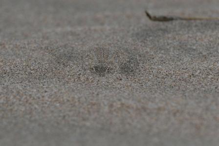 Lagartija en la arena