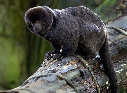 El mono guardaría similitudes con la especie actual Callimico goeldi