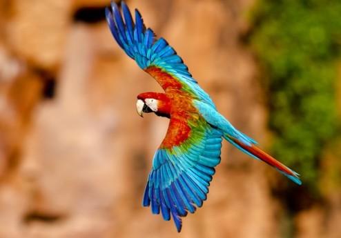 Guacamayo en vuelo