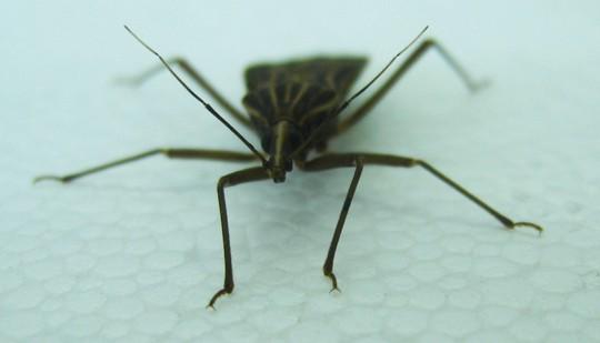 Rhodnius prolixus, la especie de vinchuca con que se llevó adelante el estudio. Foto Gentileza investigadores (2)