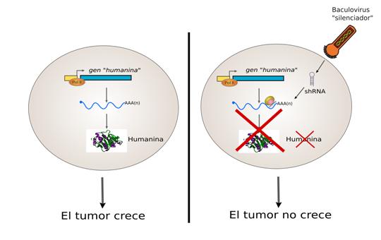 Gráfico comparativo de la evolución de los tumores con producción de Humanina y sin ella. Créditos Matías Pidre
