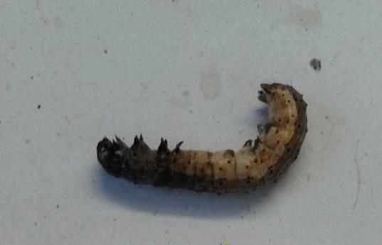 Plaga del maíz (2). Gentileza investigadores