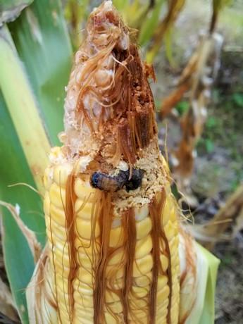 Plaga del maíz (3). Gentileza investigadores