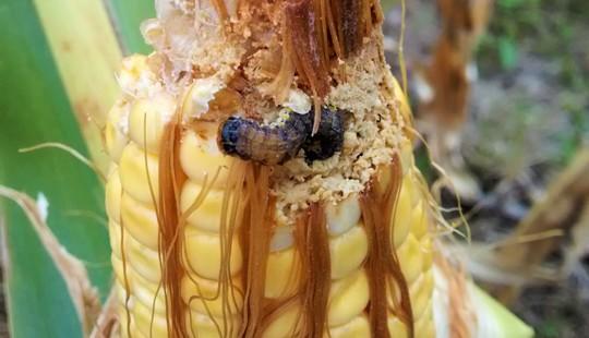 Plaga del maíz portada