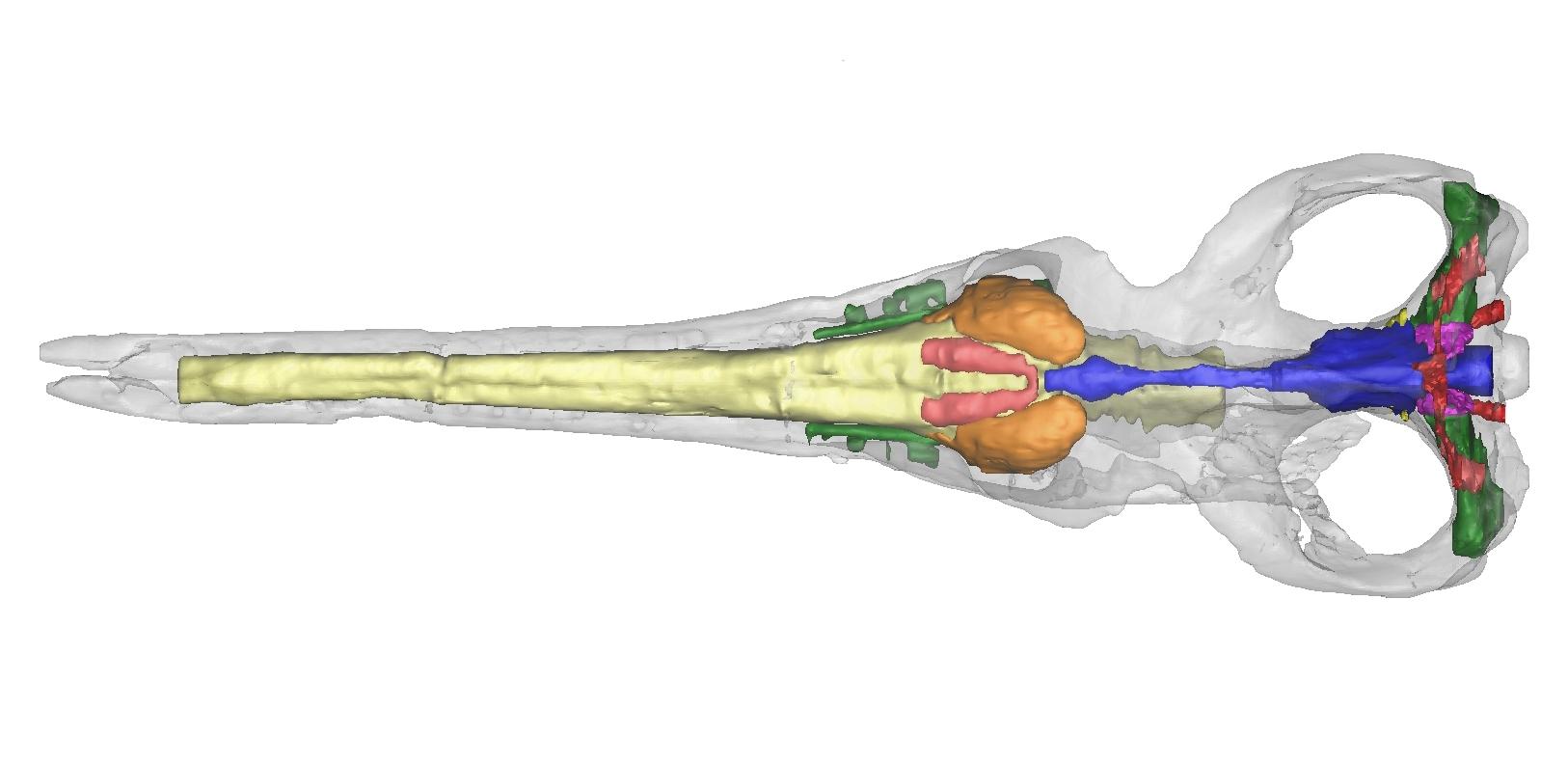 Cricosaurus araucanensis Vista dorsal-web