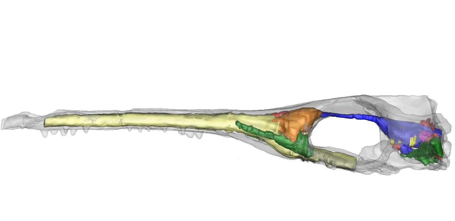 Cricosaurus araucanensis Vista lateral izquierda-web