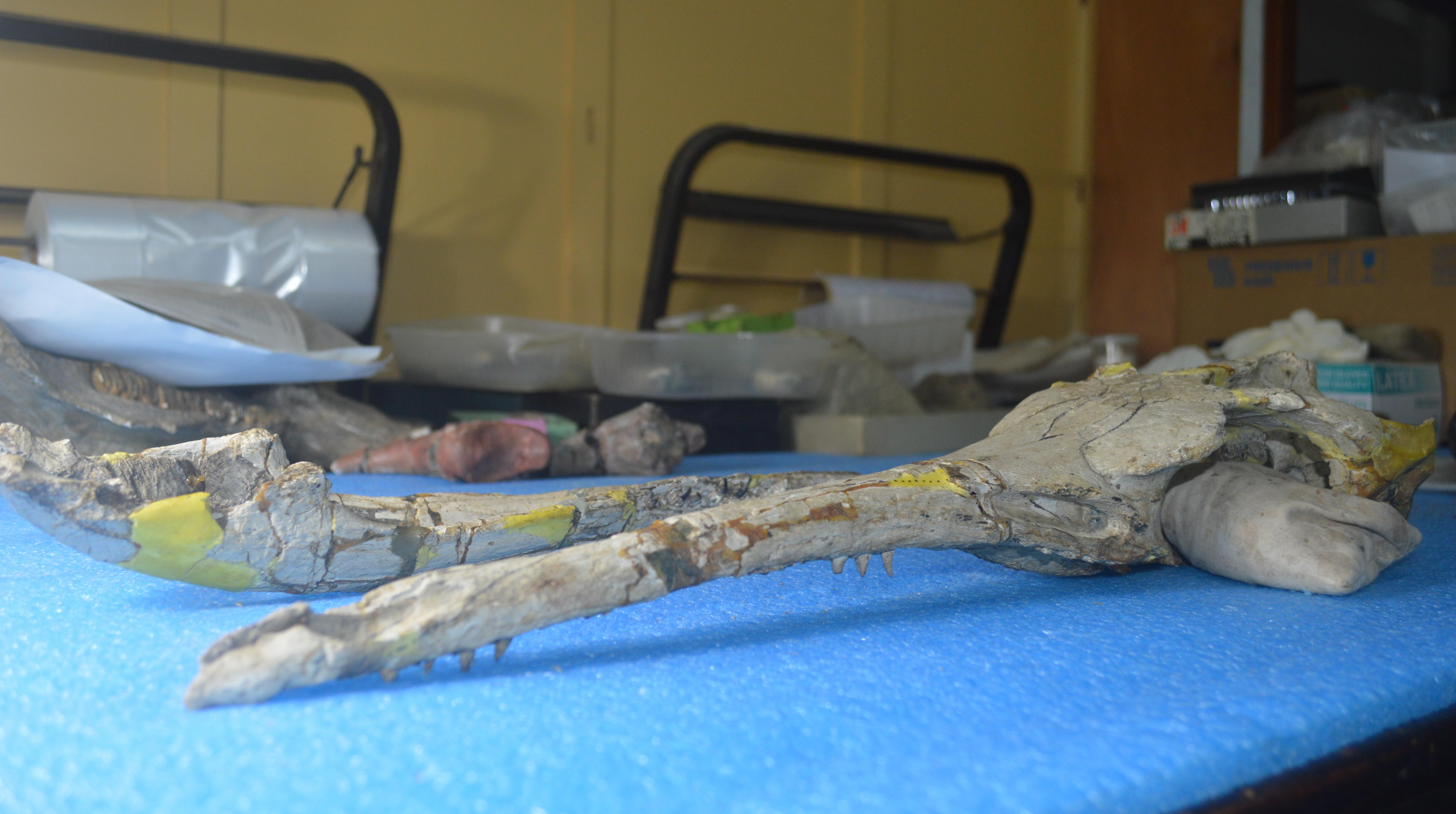 cráneo del Museo