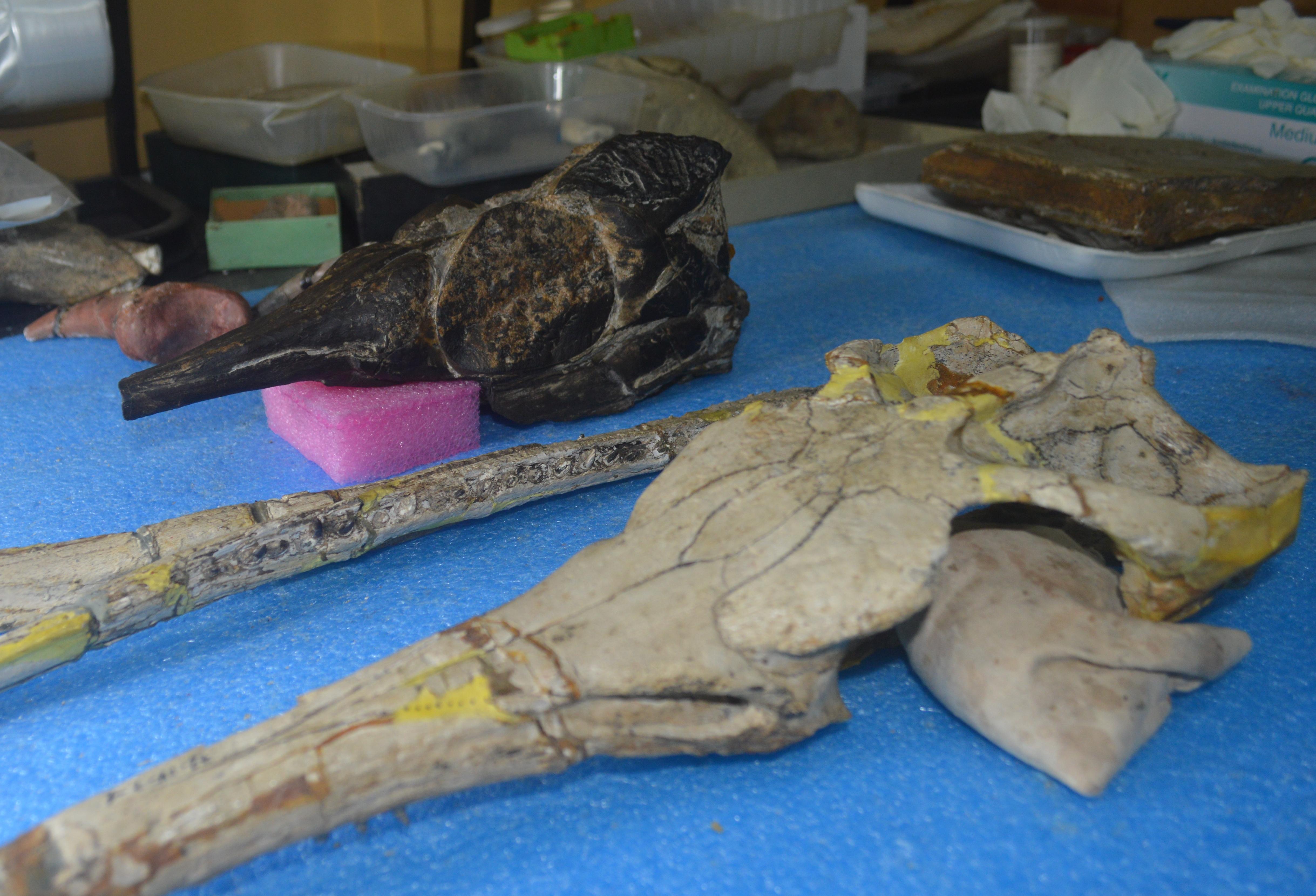 cráneo y molde del Museo
